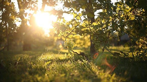Thumbnail for Grapes 2