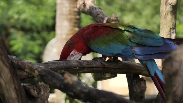 Thumbnail for Blue Green Red Macaw Parrot on a Branch in a Reserve on the Island of Bali