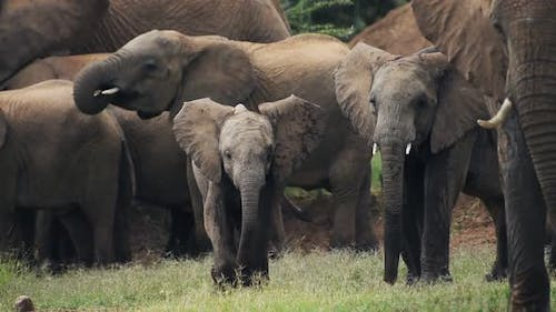 Baby elephant in a herd playing. Slow motion African wildlife
