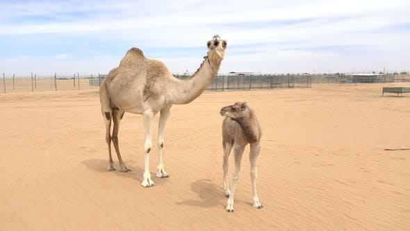 Thumbnail for Camel's Family