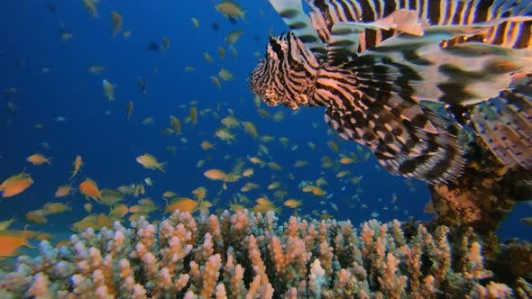 Thumbnail for Lion-Fish and Beautiful Scene