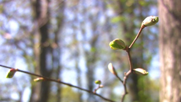 Thumbnail for Buds - Young leaves