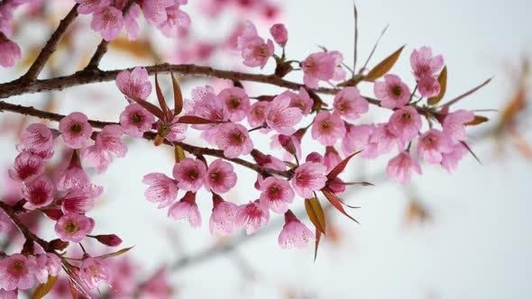Thumbnail for Kirschblütenbaum im Frühling