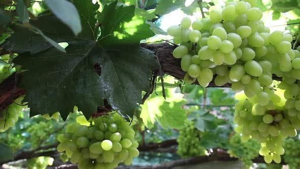 Thumbnail for Grapes in the Vineyard Close-up. Ukraine