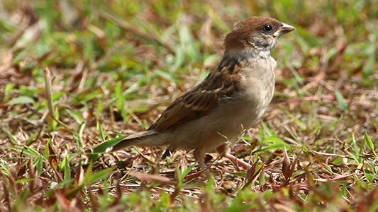 House Sparrow (Passer Domesticus) Close Up 1