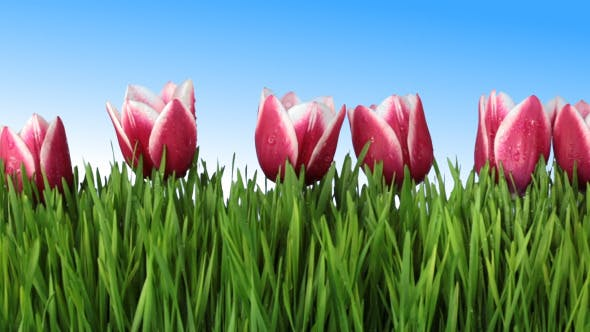 Thumbnail for Grass and Tulips