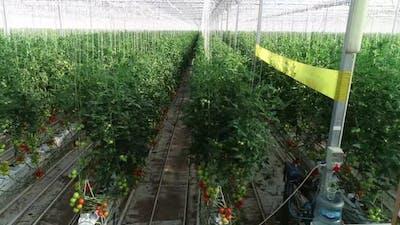 Tomato Greenhouse