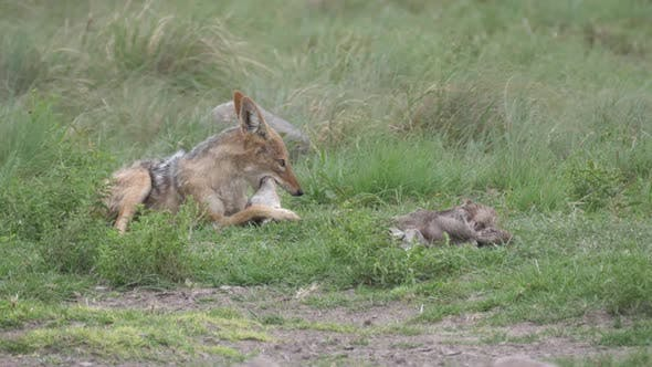 Thumbnail for Black-backed jackal eating from a prey