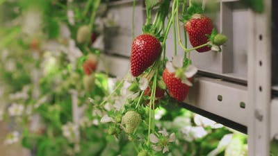 Ripening Strawberries In Greenhouse