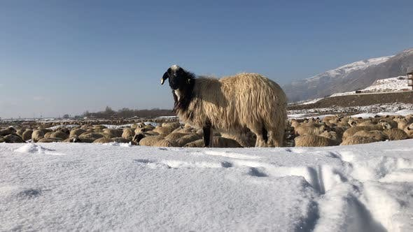 Thumbnail for Winter Scene With A Sheep's Trying To Find Grass