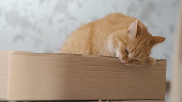 Cute Ginger Cat Sits in a Cardboard Box and Chews Its Sides.