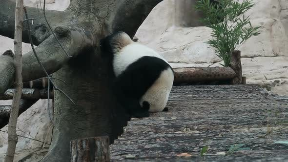 Thumbnail for Giant Panda Rubs Its Back and Tail Against a Tree