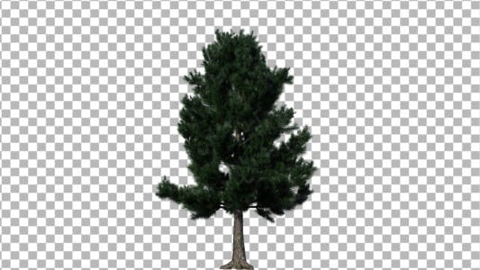 Cover Image for Pine 1