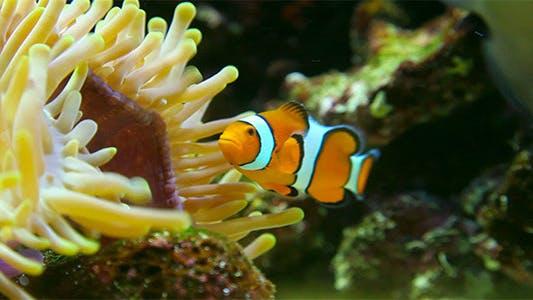 Thumbnail for Clown fish
