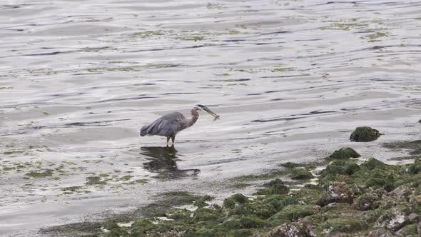 Thumbnail for Great Blue Heron Bird Strikes Prey And Grabbing Fish With Bill