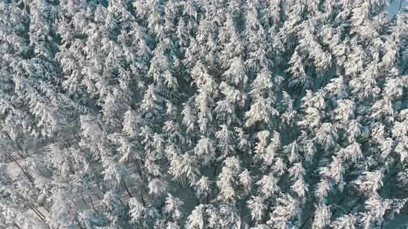 Flying Over the Snowy Tops of Trees of a Winter Pine Forest on a Sunny Day