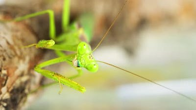 Macro Praying Mantis Eating A Cricket