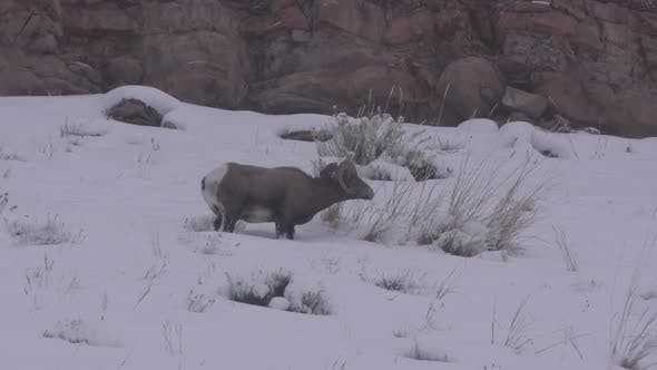 Thumbnail for Bighorn Sheep Ram Male Adult Lone Eating Feeding in Winter in Yellowstone National Park Wyoming