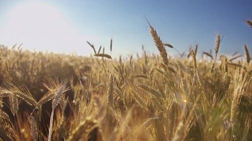 Goldenes Weizenfeld gegen den Himmel im Feld, bewegliche Kamera