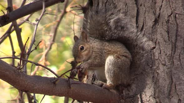 Thumbnail for Gray Squirrel on Branch Eating Autumn Seeds Mesquite Food Pod