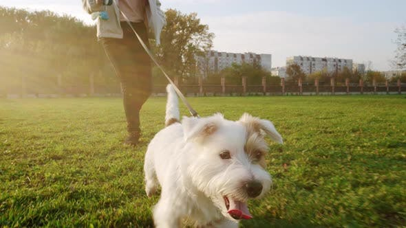 Close Up. Jack Russell Terrier Dog Happily Runs with a Girl on the Grass in a Nature Park, Slow