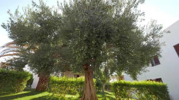 Wide-branching olive tree in the garden