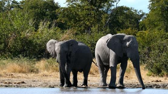Wild African Elephant in Botswana, Africa