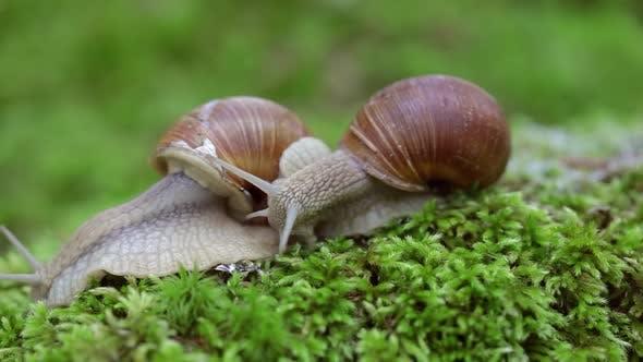 Thumbnail for Helix Pomatia Also Roman Snail, Burgundy Snail