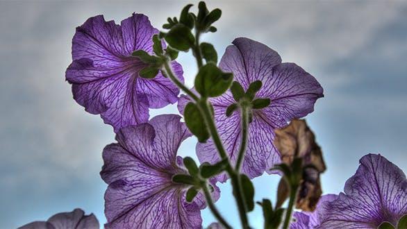 Thumbnail for Blossom petunia, HDR.