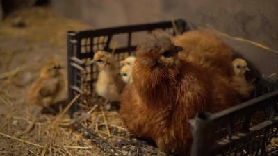 A Chicken Sits with Chickens in a Chicken Coop. A Chicken Sits Next To Newborn Chickens in the