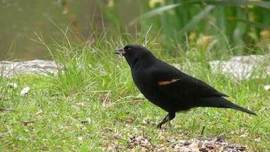 Thumbnail for Black Bird - Pack of 2