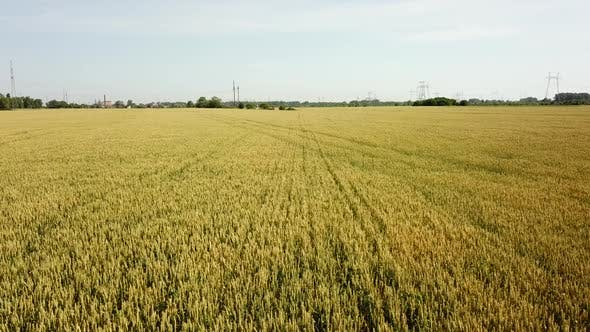 Thumbnail for Wheat Field. Golden Ears of Wheat on the Field. Wheat Field Aerial View.