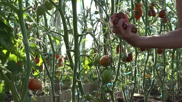 Thumbnail for Harvest Time For Tomatoes