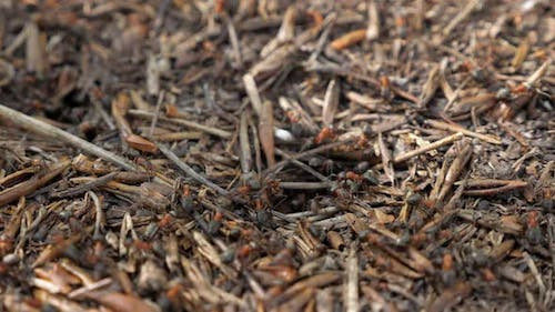 Red Wood Ants Moving on the Nest. Anthill with Red Wood Ants in Spring