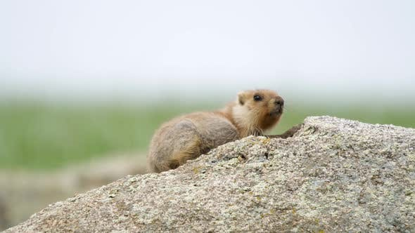 Thumbnail for A Real Marmot in The Rock