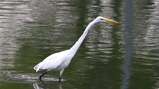 Thumbnail for Great Egret (Ardea alba) 1