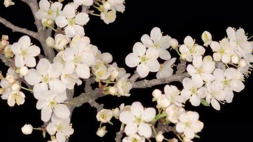 Weiße Blumen Blüten auf den Zweigen Kirschbaum