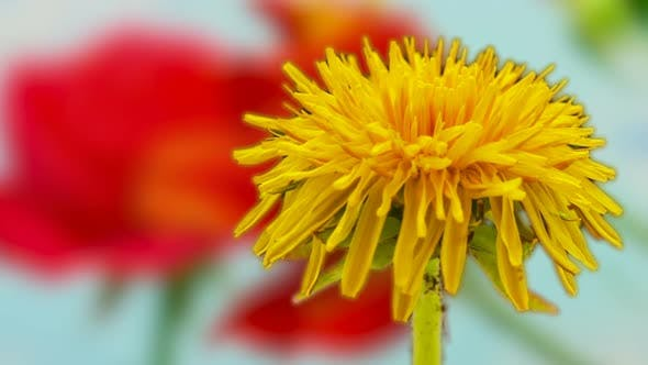 Thumbnail for Dandelion Blossom TImelapse