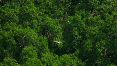 White-bellied Sea-eagle -Haliaeetus Leucogaster-