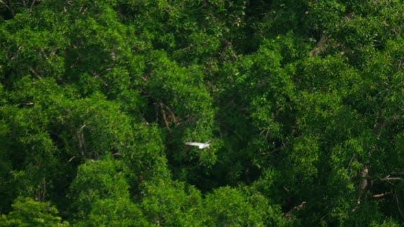 Thumbnail for White-bellied Sea-eagle -Haliaeetus Leucogaster-