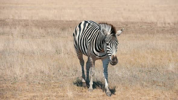 Cover Image for Exotic Striped Zebra Walking Along Rusty Grass of Taurida Steppes in Summer
