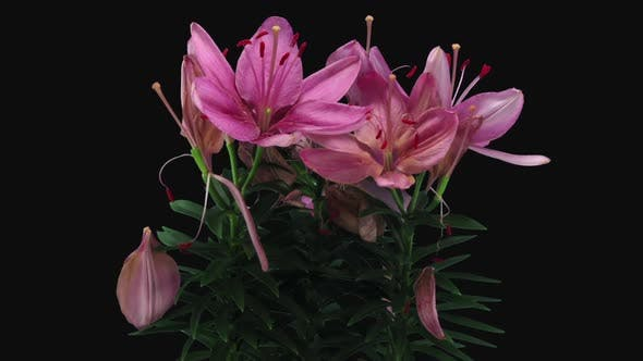 Thumbnail for Time-lapse of dying pink lily bouquet