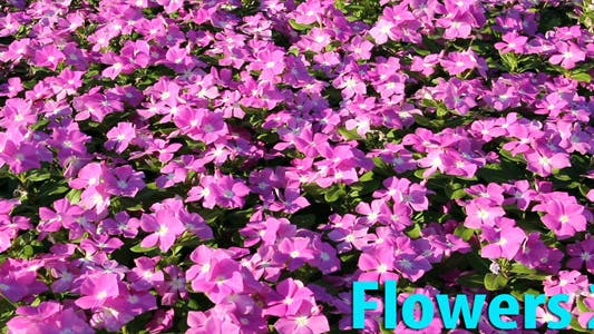 Thumbnail for Flowers 2