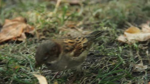 Close-Up Shot of Cute Sparrow Jumping in City Park. Birdwatching Activity, Hobby