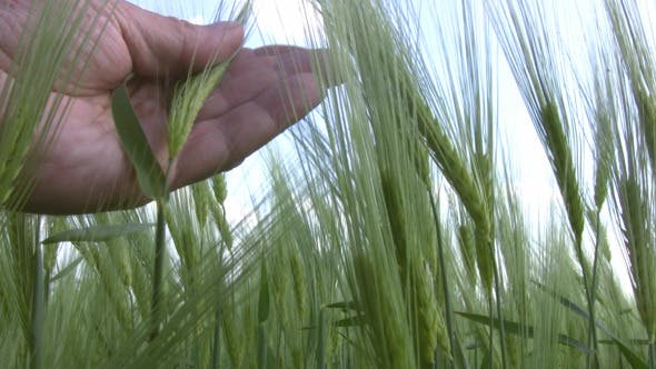 Thumbnail for Wheat in a Man's Hand