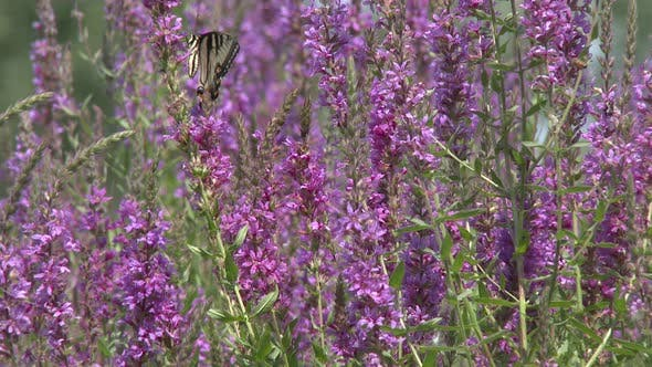 Swallowtail Butterfly Adult Lone in Summer Exotic Plant Pollinator