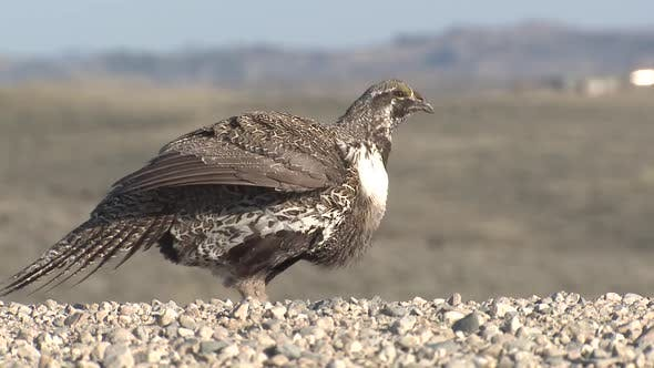 Thumbnail for Sage Grouse Cock Male Adult Lone Stretching in Spring in Wyoming