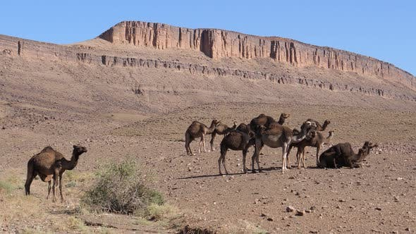 Thumbnail for Big herd of dromedary camel families