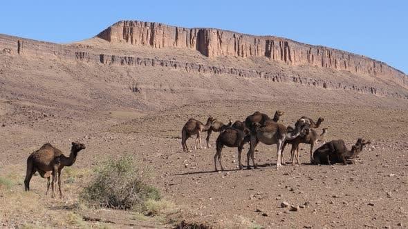 Big herd of dromedary camel families