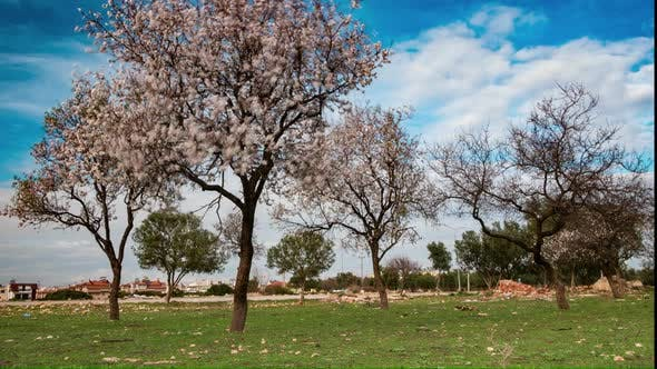 Thumbnail for Pink Blooming Trees in Spring Orchard